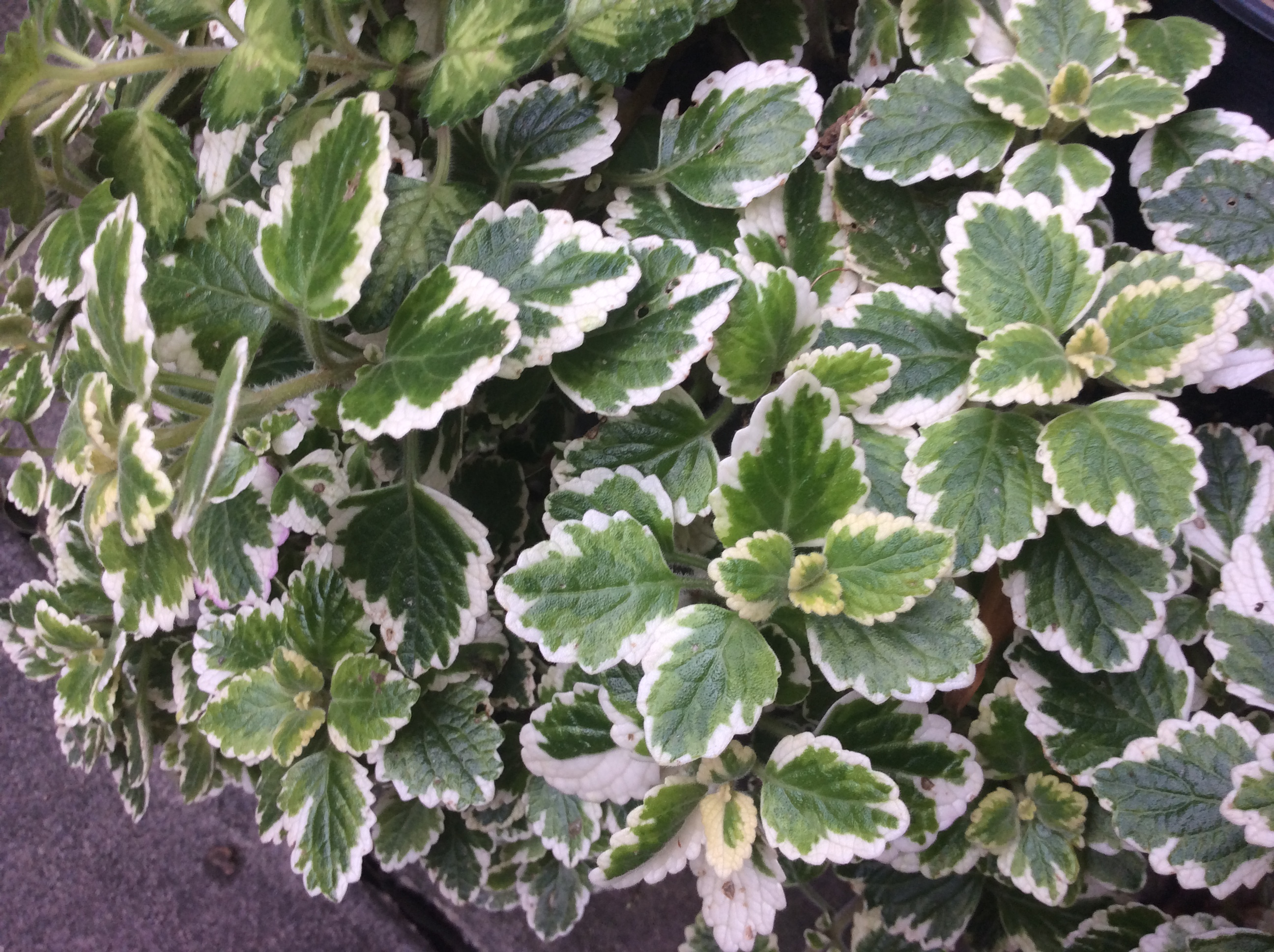 Variegated Plectranthus